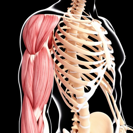 musculature: Human arm musculature,artwork