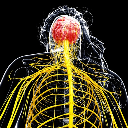medula espinal: Female nervous system,computer artwork
