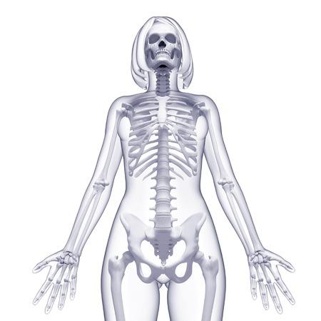 pelvis: Female skeleton,computer artwork