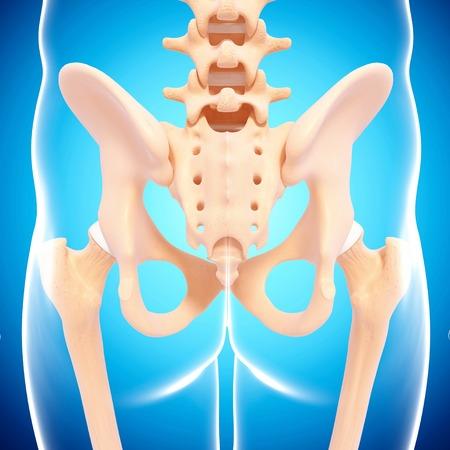 pelvis: Human pelvic bones,computer artwork