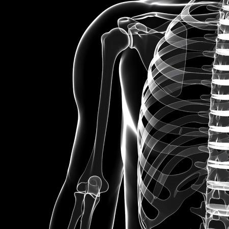 ribcage: Human skeleton,artwork