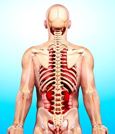 Anatomía masculina, obras de arte