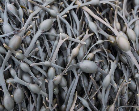 air bladder: Close-up of seaweed LANG_EVOIMAGES