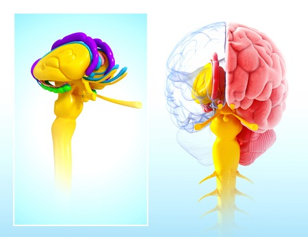 Human brain anatomy,artwork