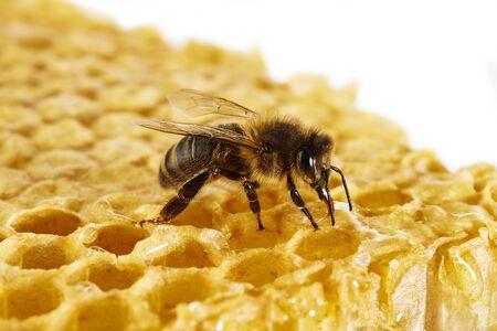 side shot: Honey bee on honeycomb
