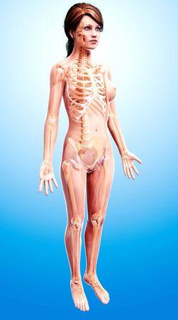pelvis: Female skeleton,artwork LANG_EVOIMAGES