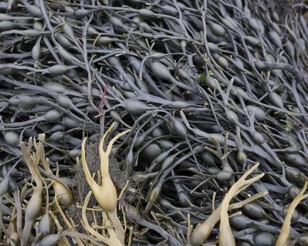 air bladder: Seaweed