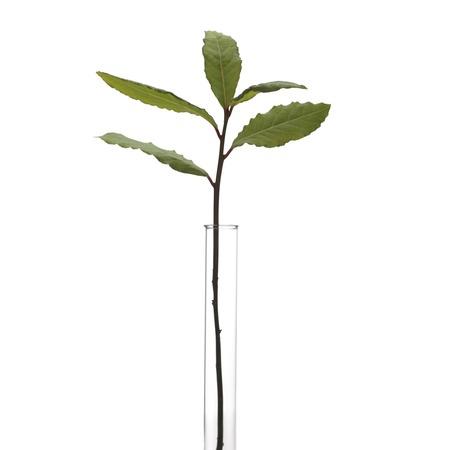Bay tree Laurus nobilis stem LANG_EVOIMAGES