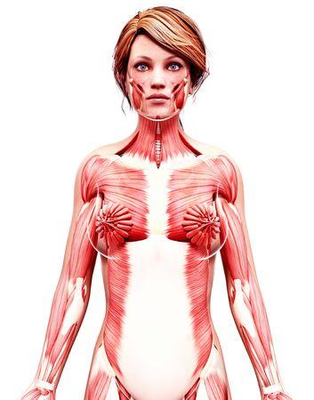 pectoralis: Female musculature,artwork