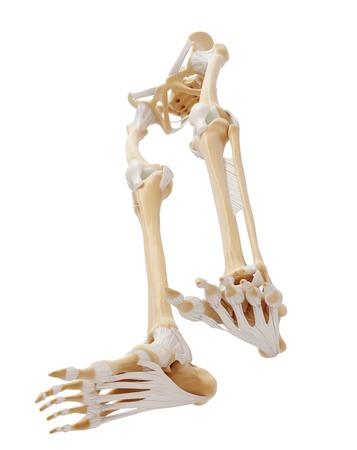 Human leg bones,artwork