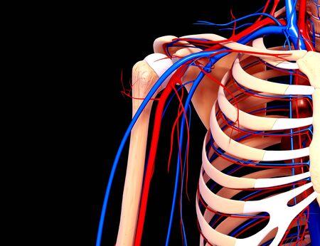 Human cardiovascular system,artwork LANG_EVOIMAGES