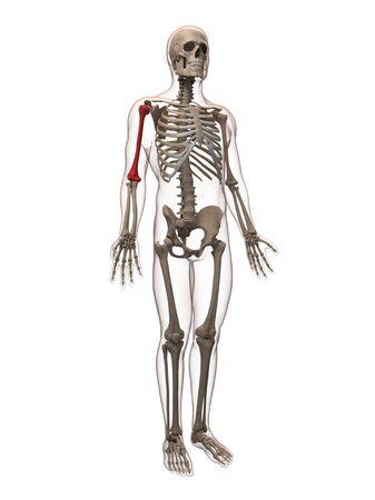 Upper arm bone,artwork