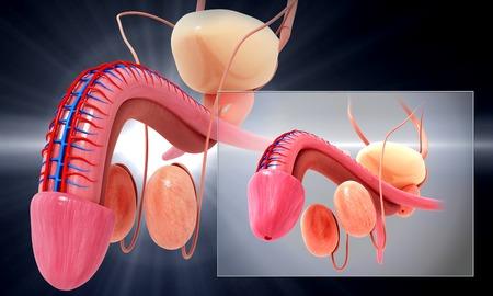 vas deferens: Male genitourinary system,artwork