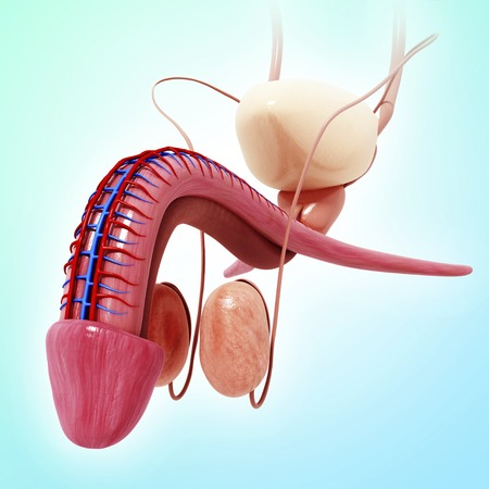 Male reproductive system,artwork