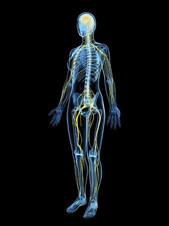 female likeness: Female nervous system,artwork