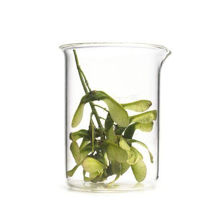 acer: Sycamore Acer pseudoplatanus seeds