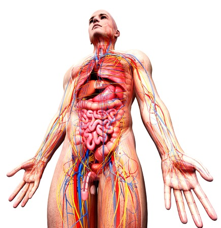 scrotum: Male anatomy,artwork