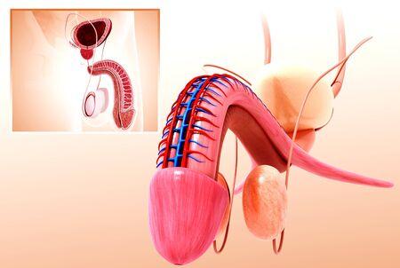 vas deferens: Male urinary system,artwork