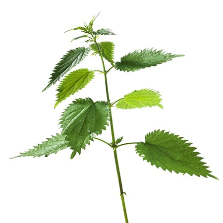 urtica dioica: Stinging nettle Urtica dioica LANG_EVOIMAGES