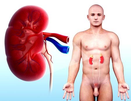 Sistema urinario masculino, obras de arte