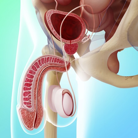 vas deferens: Male reproductive system,artwork