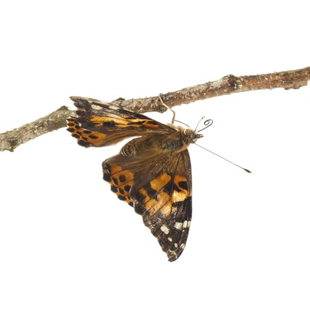 Painted lady butterfly LANG_EVOIMAGES