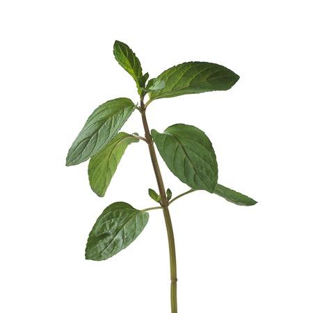 mentha: Peppermint Mentha x piperita