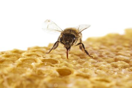 mellifera: Honey bee on honeycomb