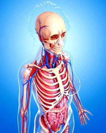 ribcage: Female anatomy,artwork