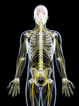 Male nervous system,artwork