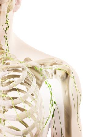 lymph: Shoulder lymph nodes, artwork LANG_EVOIMAGES