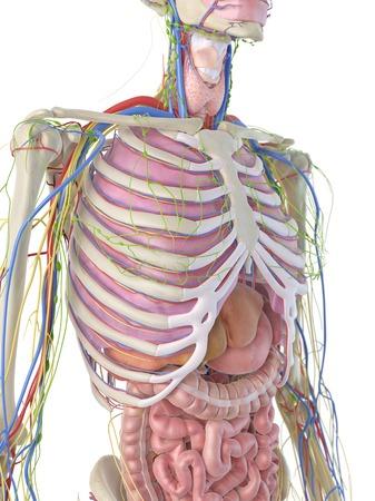 Digestive system, artwork LANG_EVOIMAGES