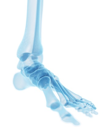 phalanges: Human foot bones, artwork LANG_EVOIMAGES