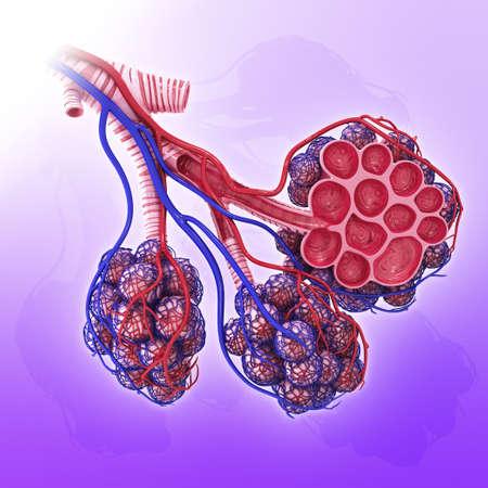 bronchioles: Human alveoli, artwork