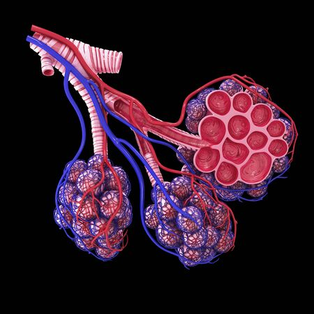 Human alveoli, artwork