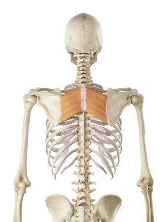 Back muscle, artwork LANG_EVOIMAGES