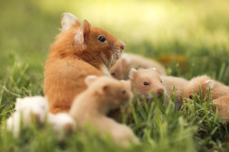 Golden hamster pet with young