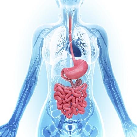 esophageal: Human digestive system, artwork