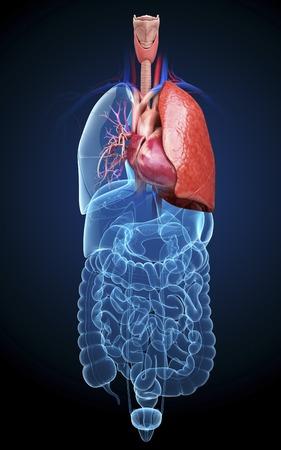 rectum: Human cardiovascular system, artwork