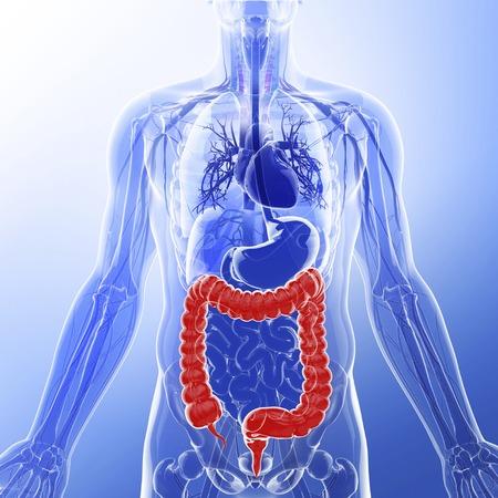 cecum: Human digestive system, artwork