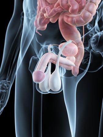 testes: Male penis anatomy, artwork LANG_EVOIMAGES