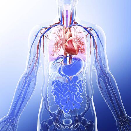 Human cardiovascular system, artwork