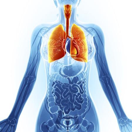intestino grueso: Los pulmones humanos, obras de arte