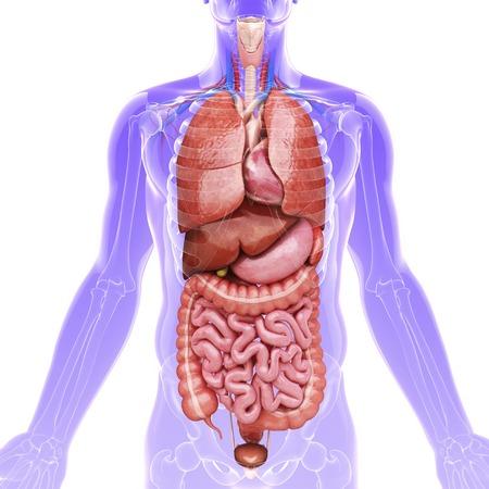 small intestine: Human internal organs, artwork