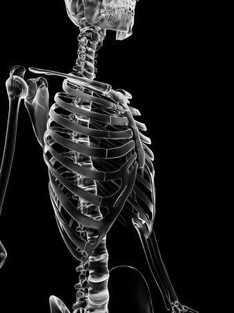 ribcage: Human ribcage, artwork