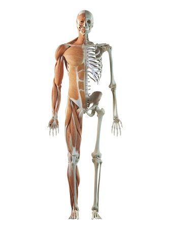 Human Musculoskeletal System, Artwork Stock Photo, Picture And ...