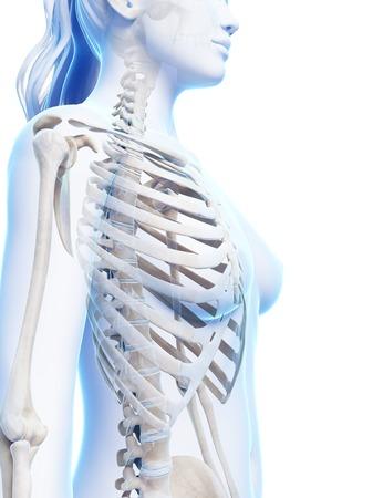 ribcage: Female ribcage, artwork