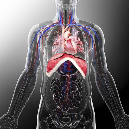 Human respiratory system, artwork