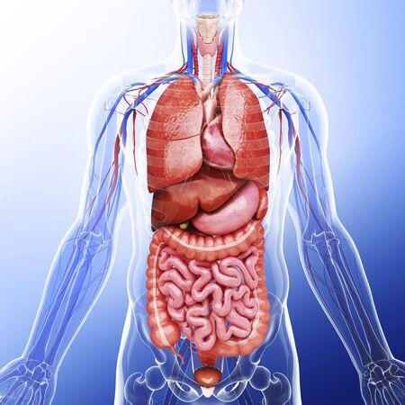 Human internal organs, artwork