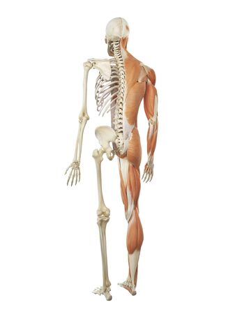 human musculoskeletal system artwork stock photo 76205046
